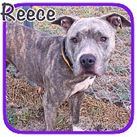 Bull Terrier Mix Dog for adoption in Ravenna, Texas - Reece