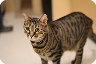 Domestic Shorthair Cat for adoption in Richmond, Virginia - Kit-Kat