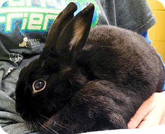 New Zealand for adoption in Jefferson, Wisconsin - Ebony