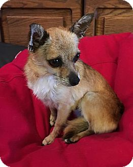 Chihuahua Mix Dog for adoption in Tucson, Arizona - Foxy