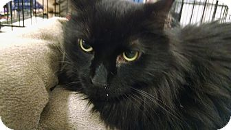 Domestic Longhair Cat for adoption in South Bend, Indiana - Dylan