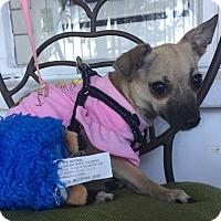 Adopt A Pet :: Peeta (BH) - Santa Ana, CA