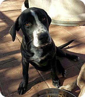 Mastiff/Hound (Unknown Type) Mix Puppy for adoption in Snow Hill, North Carolina - Betsey