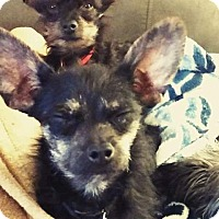 Terrier (Unknown Type, Small)/Chihuahua Mix Dog for adoption in Reno, Nevada - Mitzi and Ninja