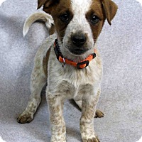 Adopt A Pet :: LONNIE - Westminster, CO