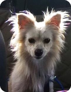 Pomeranian/American Eskimo Dog Mix Dog for adoption in Miami, Florida - Romeo