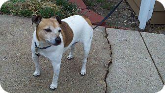 Jack Russell Terrier Dog for adoption in Omaha, Nebraska - Jake