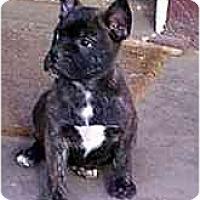 Adopt A Pet :: Tazman - dewey, AZ