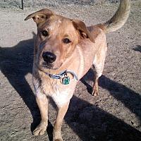 Blue Heeler Mix Dog for adoption in Littleton, Colorado - MAVERICK
