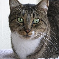 Domestic Shorthair Cat for adoption in Lago Vista, Texas - Comet