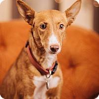 Adopt A Pet :: Yotie - Portland, OR