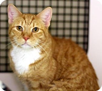 Domestic Shorthair Cat for adoption in New York, New York - Sunny