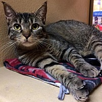 Domestic Shorthair Cat for adoption in Lawton, Oklahoma - LUCY