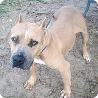 American Staffordshire Terrier/American Bulldog Mix Dog for adoption in Darien, Georgia - Prada