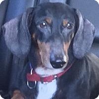 Adopt A Pet :: Cody Cuddlebug - Houston, TX