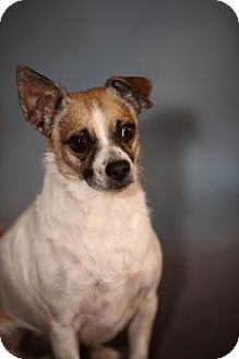 Jack Russell Terrier Mix Dog for adoption in Dallas, Texas - Buddy