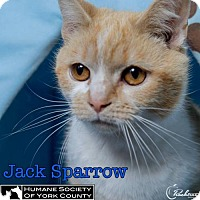 Adopt A Pet :: Jack Sparrow - Fort Mill, SC