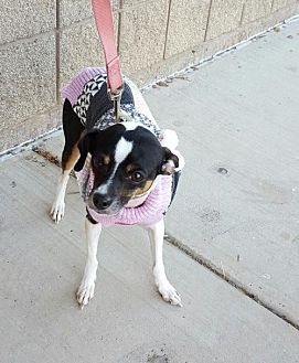 Rat Terrier/Italian Greyhound Mix Dog for adoption in Grand Prairie, Texas - Missy