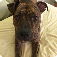 Adopt A Pet :: Poppy - Manchester, NH