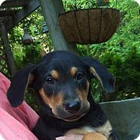 Adopt A Pet :: Sampson - Charlestown, RI