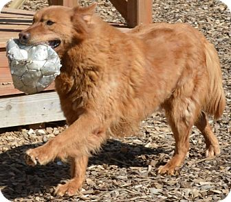 Golden Retriever Dog for adoption in Pacific, Missouri - Brownie