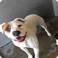 American Bulldog Dog for adoption in San Bernardino, California - URGENT NOW!  San Bernardino