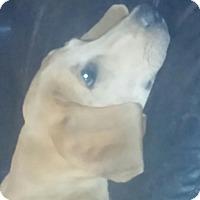 Labrador Retriever Mix Puppy for adoption in Coventry, Rhode Island - Copper