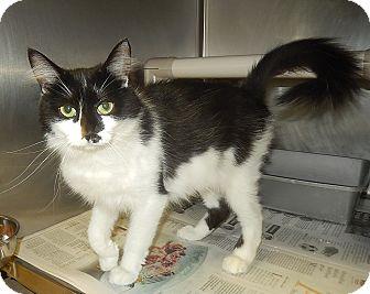 Domestic Mediumhair Cat for adoption in Newport, North Carolina - Buffy (Petsmart in Morehead)