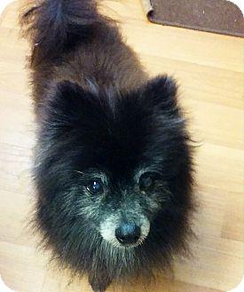 Pomeranian Dog for adoption in Ogden, Utah - Cole