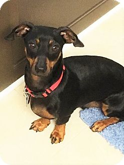 Dachshund Dog for adoption in Decatur, Georgia - Jett