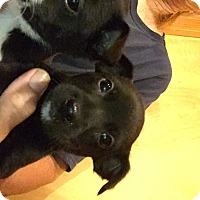 Chihuahua/Pomeranian Mix Puppy for adoption in Memphis, Michigan - Arby & Abner