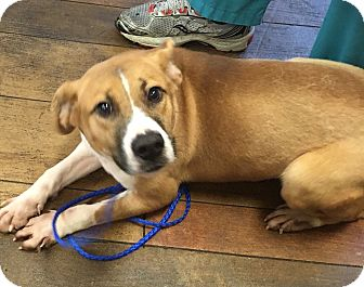 Hound (Unknown Type)/Retriever (Unknown Type) Mix Dog for adoption in Mount Holly, New Jersey - Sophie