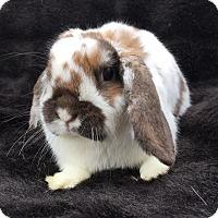 Adopt A Pet :: Celia - Watauga, TX