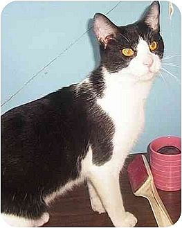 Domestic Shorthair Cat for adoption in Nepean, Ontario - BO BO