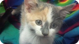 Calico Kitten for adoption in Scottsdale, Arizona - Azula- courtesy post