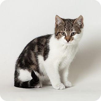 Domestic Shorthair Kitten for adoption in Rockaway, New Jersey - Eggnog
