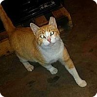Adopt A Pet :: Tango - Edmond, OK