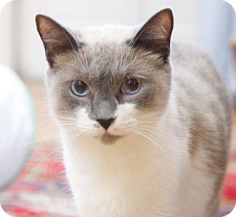 Siamese Cats For Adoption Tn