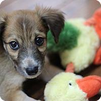 Adopt A Pet :: Guinevere - Austin, TX
