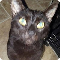 Domestic Shorthair Cat for adoption in New Bedford, Massachusetts - Panther