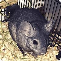 Adopt A Pet :: Daisy - Granby, CT
