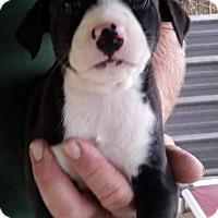 Adopt A Pet :: Swift Fox - Gainesville, FL