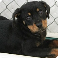 Adopt A Pet :: Reta--arriving soon in NH! - Chichester, NH