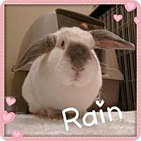 Adopt A Pet :: Rain - Los Angeles, CA