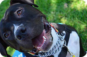 Bullmastiff/Labrador Retriever Mix Dog for adoption in Hawthorne, California - Belinda