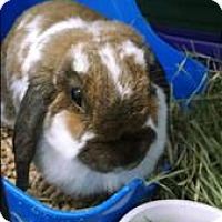 Lop, Holland Mix for adoption in Madison, New Jersey - Pika