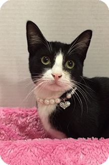 Domestic Shorthair Kitten for adoption in Pasadena, Texas - Ziggy