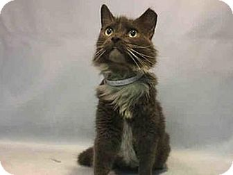 Domestic Mediumhair Cat for adoption in Hudson, New York - Peridot