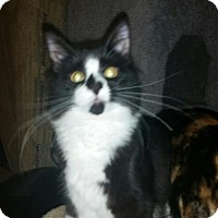 Domestic Longhair Kitten for adoption in Parker Ford, Pennsylvania - Quisp - ADOPTED!
