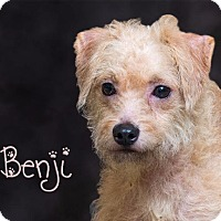Adopt A Pet :: Benji - Somerset, PA